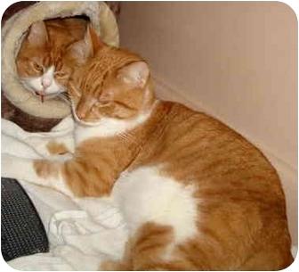 Domestic Mediumhair Cat for adoption in Yorba Linda, California - Sparkie & Luckie