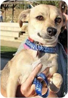 Beagle/Chihuahua Mix Dog for adoption in Los Angeles, California - Lavendar