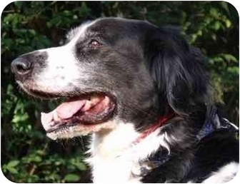 Flat-Coated Retriever Mix Dog for adoption in Edgewater, New Jersey - Carter