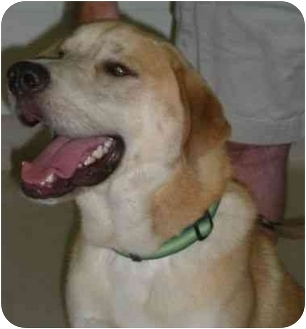 Labrador Retriever/Golden Retriever Mix Dog for adoption in San Diego, California - CAMERAN