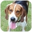 Photo 1 - Treeing Walker Coonhound Mix Dog for adoption in McCormick, South Carolina - Sir Walter Riley