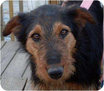 Ariel | Adopted Dog | Harrison, AR | Airedale Terrier ...