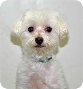 Maltese Dog for adoption in Port Washington, New York - Frito