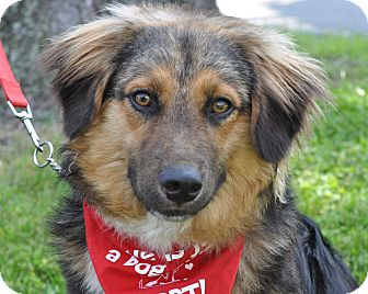 German Shepherd Dog/Collie Mix Dog for adoption in Sparta, New Jersey - Cody