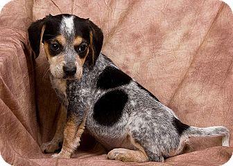 Bluetick Coonhound Mix Puppy for adoption in Anna, Illinois - RYANN