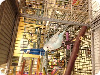 Parakeet - Other for adoption in Punta Gorda, Florida - Gorgi