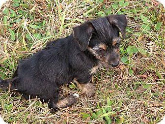 Yorkie, Yorkshire Terrier Mix Puppy for adoption in Zanesville, Ohio - Sophie