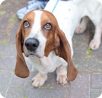 Basset Hound Dog for adoption in Folsom, Louisiana - Glen