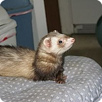 Adopt A Pet :: Emma - South Hadley, MA
