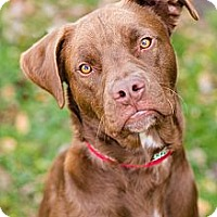 Adopt A Pet :: Bruno - Reisterstown, MD
