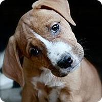 Adopt A Pet :: GRETA - Plano, TX