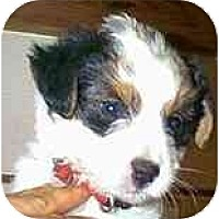 Adopt A Pet :: Doggles - dewey, AZ