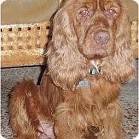 Adopt A Pet :: Brandi - Sugarland, TX