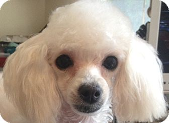 Poodle (Toy or Tea Cup) Puppy for adoption in Dover, Massachusetts - Nicole