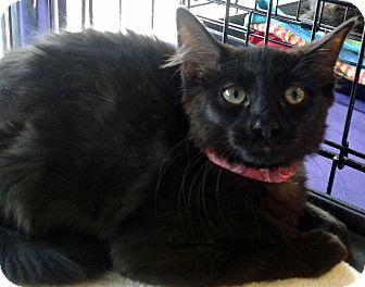 Domestic Mediumhair Kitten for adoption in Seminole, Florida - Tut