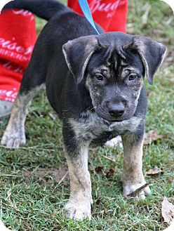 Labrador Retriever Mix Puppy for adoption in knoxville, Tennessee - CHAKA