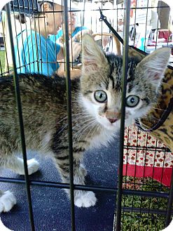 Domestic Mediumhair Kitten for adoption in Riverview, Florida - Raven