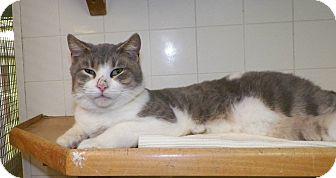 Domestic Shorthair Cat for adoption in Dover, Ohio - Pango