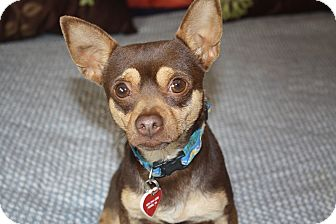 Chihuahua/Rat Terrier Mix Dog for adoption in Los Angeles, California - Keegan