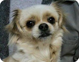 Pomeranian/Pekingese Mix Puppy for adoption in Norman, Oklahoma - Darla