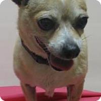 Adopt A Pet :: Angel - Gary, IN
