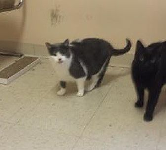 Domestic Shorthair Cat for adoption in Cuyahoga Falls, Ohio - $$ sponsored Tatum and Solo
