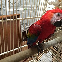 Adopt A Pet :: Ruby - ruby macaw - Blairstown, NJ
