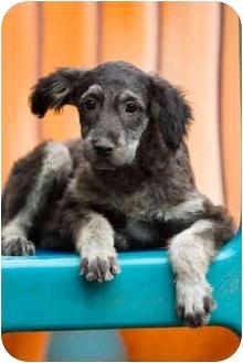 Schnauzer (Standard) Mix Puppy for adoption in Portland, Oregon - Doodle