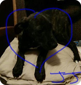 Shepherd (Unknown Type)/Plott Hound Mix Puppy for adoption in springtown, Texas - JJ