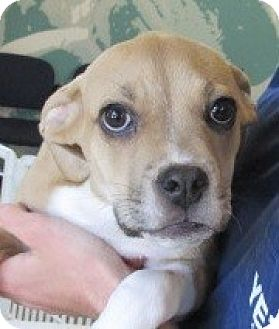Boxer Mix Puppy for adoption in Aiken, South Carolina - LUCY