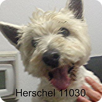 Westie, West Highland White Terrier Dog for adoption in Greencastle, North Carolina - Herschel