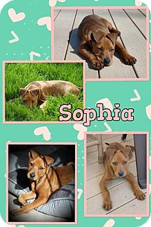 Shar Pei Mix Dog for adoption in Tomah, Wisconsin - Sophia