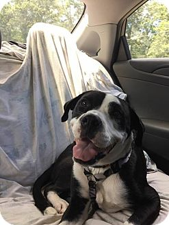 Boxer/Pit Bull Terrier Mix Dog for adoption in Monroe, North Carolina - Lucy 2