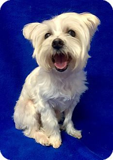 Maltese/Westie, West Highland White Terrier Mix Dog for adoption in Encino, California - Heidi