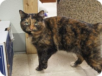 American Shorthair Cat for adoption in Libby, Montana - Peaches
