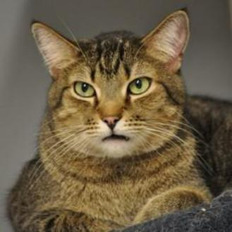 Domestic Shorthair/Domestic Shorthair Mix Cat for adoption in Elk Grove Village, Illinois - Tennessee
