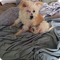 Adopt A Pet :: Daffodil - Staunton, VA