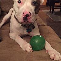 Adopt A Pet :: Finn--West Virginia - Fulton, MO
