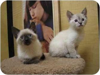 Siamese Kitten for adoption in Irvine, California - Sugar & Sandy