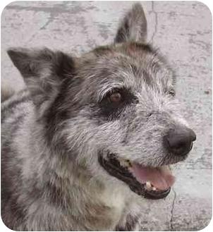 Australian Shepherd/Terrier (Unknown Type, Medium) Mix Dog for adoption in Rolling Hills Estates, California - Brodie