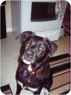 Border Collie Mix Dog for adoption in Elyria, Ohio - Lizzy