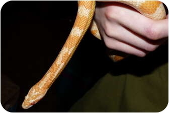 Snake for adoption in Richmond, British Columbia - Comet