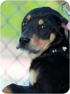 Rottweiler Mix Puppy for adoption in staten Island, New York - Ginger