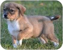 Beagle Mix Puppy for adoption in Harrisonburg, Virginia - Andy