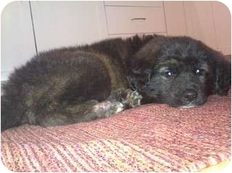Husky Mix Puppy for adoption in Hainesville, Illinois - Bella