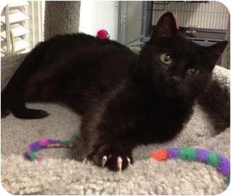 Domestic Shorthair Kitten for adoption in Snohomish, Washington - Jonnie
