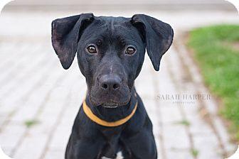 Labrador Retriever/Great Dane Mix Puppy for adoption in Reisterstown, Maryland - Star