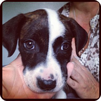 Boxer/Labrador Retriever Mix Puppy for adoption in Orlando, Florida - Olive