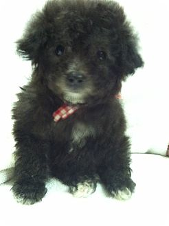 Poodle (Toy or Tea Cup) Puppy for adoption in Cranford, New Jersey - Toy Poodle Puppies