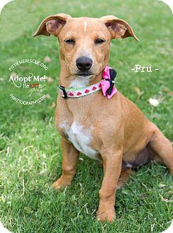 Dachshund Mix Puppy for adoption in Gilbert, Arizona - Pru